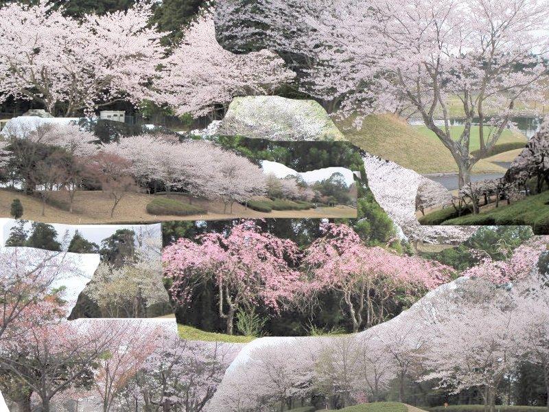 sakura.jpg(198803 byte)
